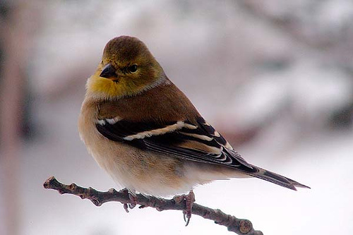 Winter Finch by Clyde Barrett