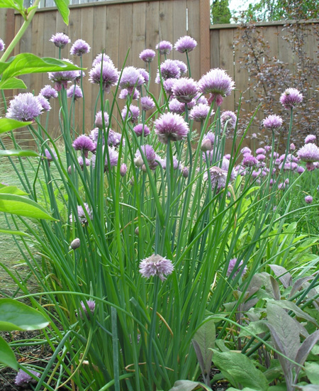 Chive_flowers